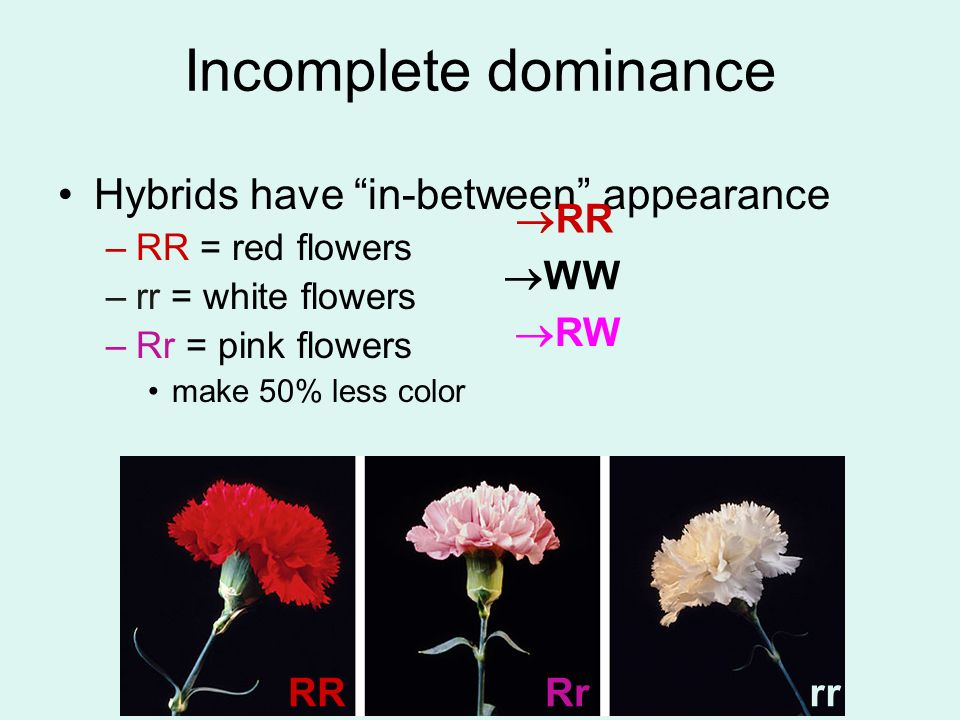 Incomplete dominance Hybrids have in-between appearance RR WW RW