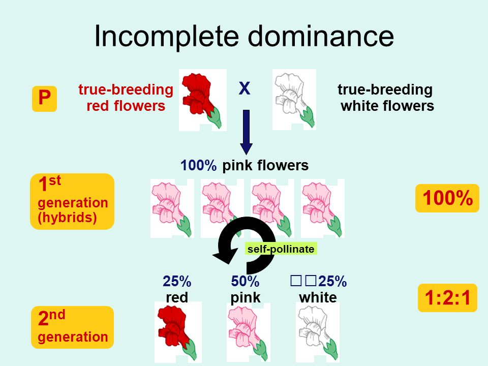 Incomplete dominance P 1st 100% 1:2:1 2nd X true-breeding red flowers