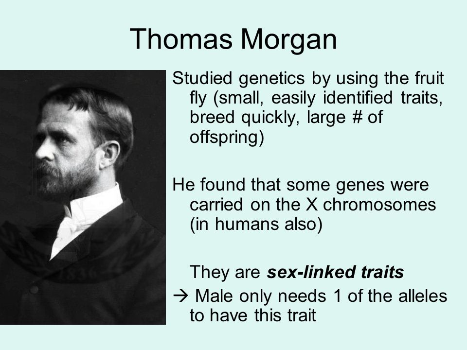 Thomas Morgan Studied genetics by using the fruit fly (small, easily identified traits, breed quickly, large # of offspring)