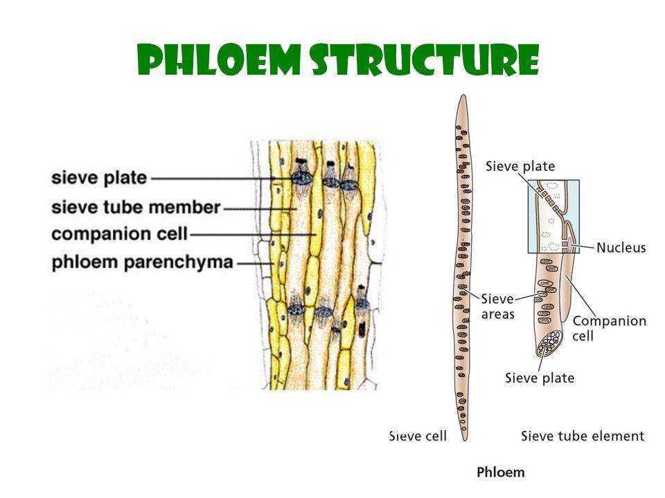 translocation in the phloem - ppt download  phloem diagram