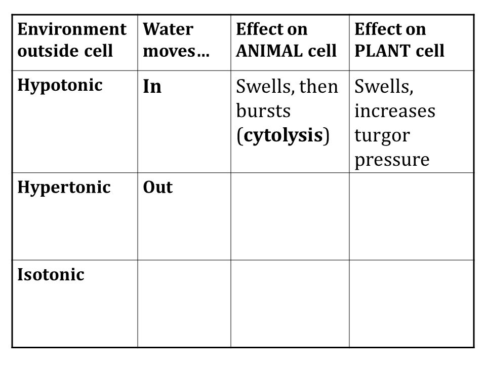 Swells, then bursts (cytolysis) Swells, increases turgor pressure