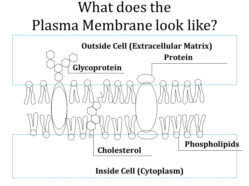 What does the Plasma Membrane look like