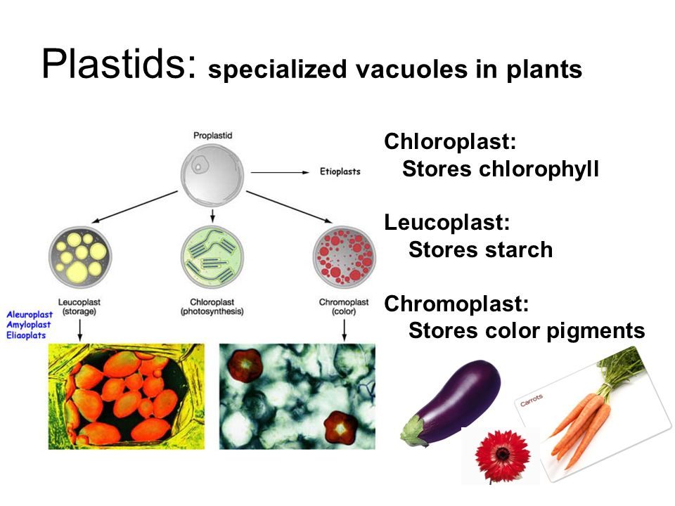 Structures of Eukaryotic Cells - ppt download