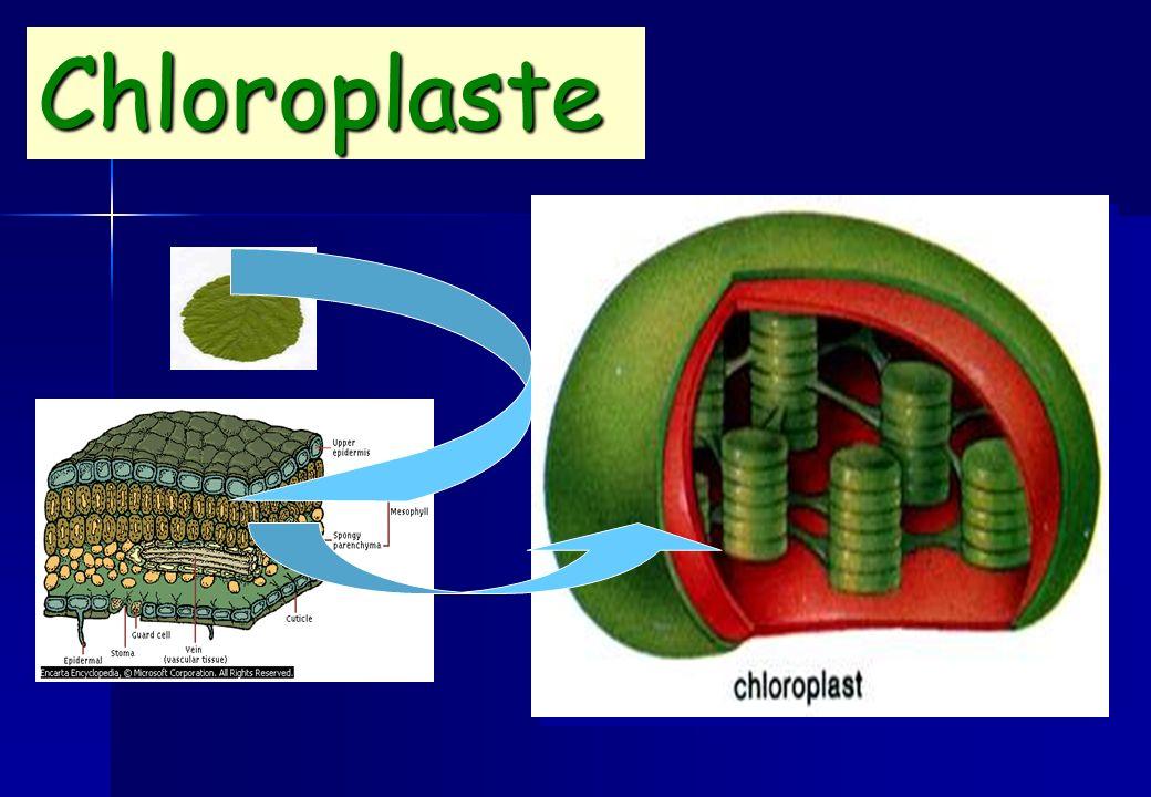Chloroplaste