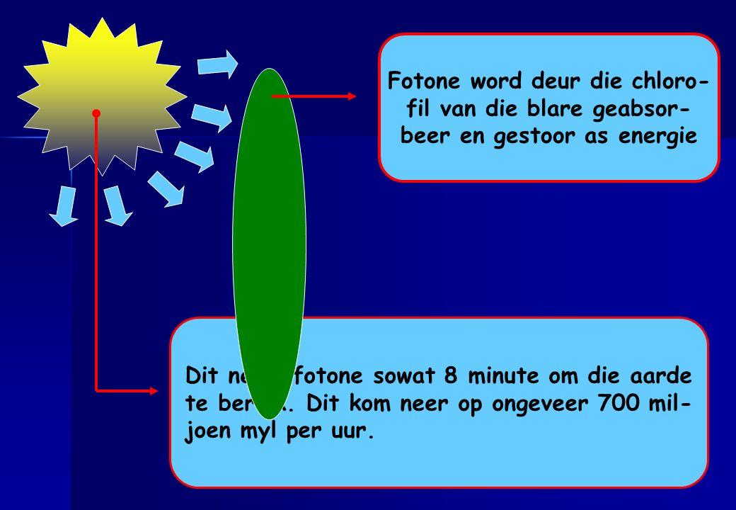 Fotone word deur die chloro- fil van die blare geabsor-