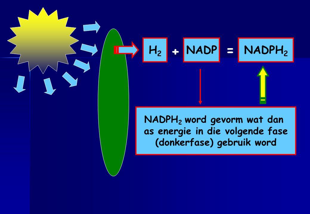 + = H2 NADP NADPH2 NADPH2 word gevorm wat dan