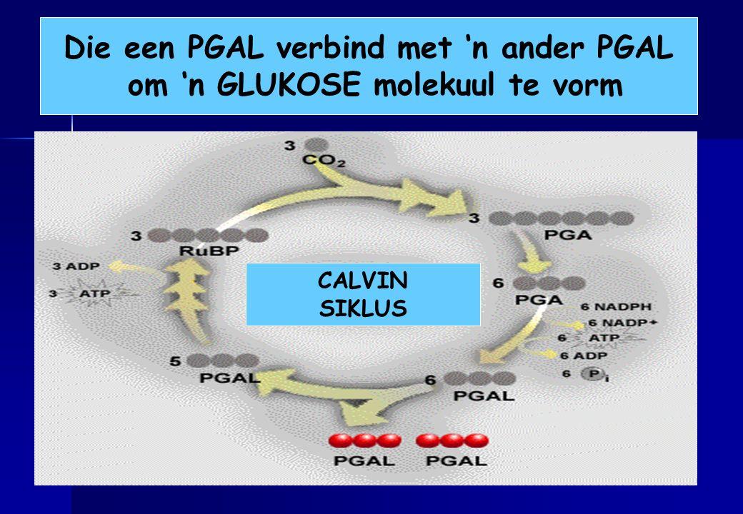 Die een PGAL verbind met 'n ander PGAL om 'n GLUKOSE molekuul te vorm