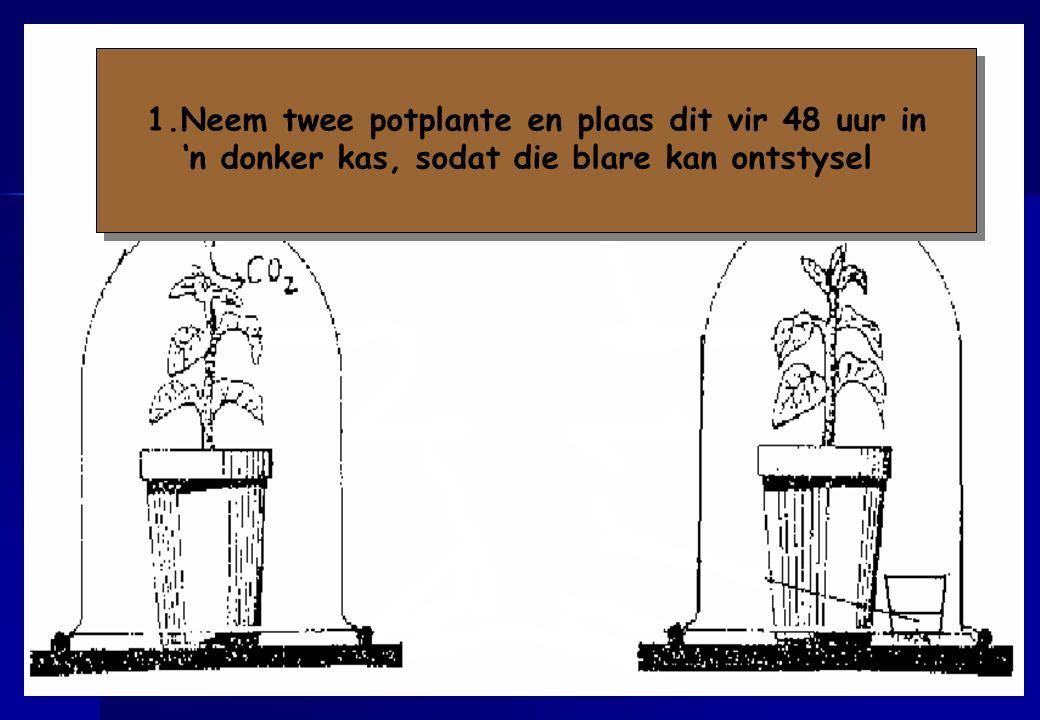 1.Neem twee potplante en plaas dit vir 48 uur in 'n donker kas, sodat die blare kan ontstysel