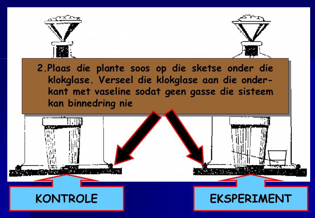 2. Plaas die plante soos op die sketse onder die klokglase