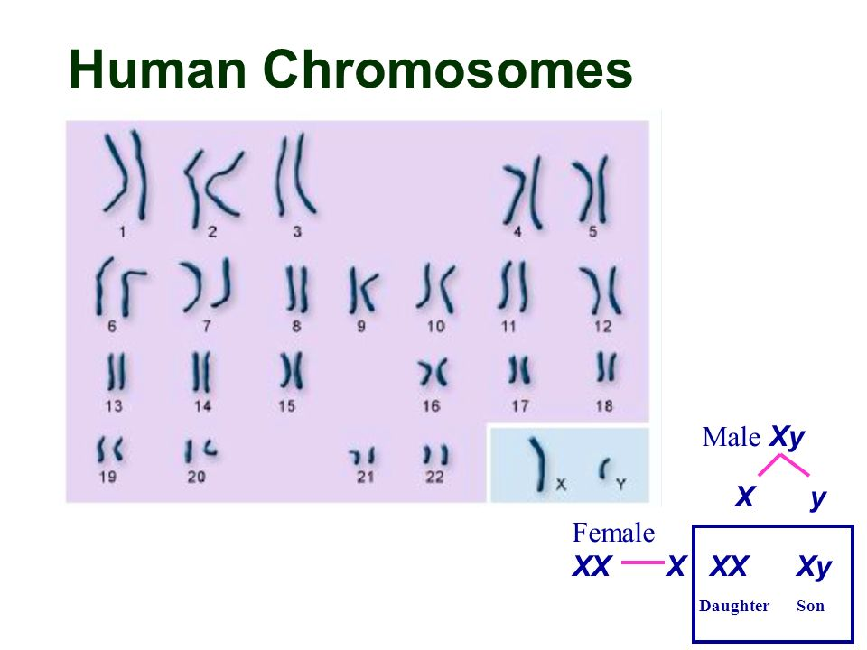 an introduction to the analysis of the human genes xx and xy What is the genetic meaning of xy save cancel already exists would you like to merge this question into it the homologous pairs match up genetic loci however, in human sex chromosomes the x and y chromosome are different (with the x chromosome being much larger and the y chromosome carrying genes that cause.