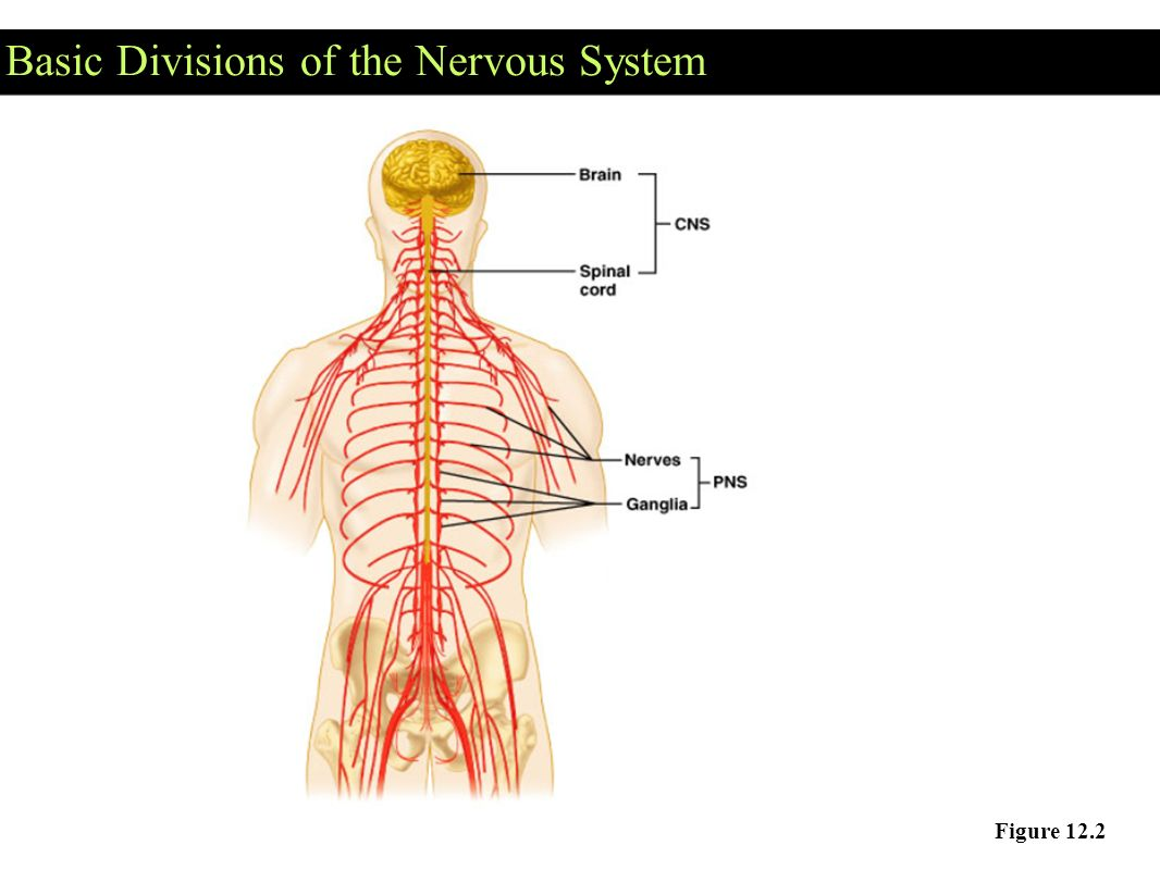 The Nervous System : communication - ppt video online download