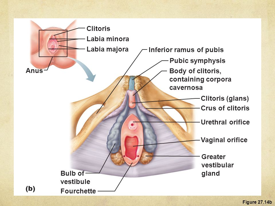 Clitoris - Anatomy and Function - InnerBody