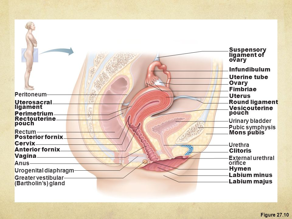 Attractive Ligament Of Uterus Anatomy Crest - Human Anatomy Images ...