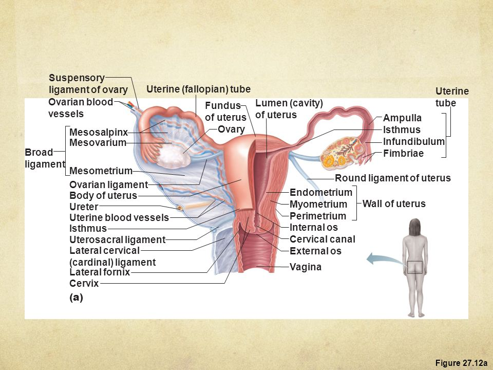 female reproductive system - ppt download, Human Body