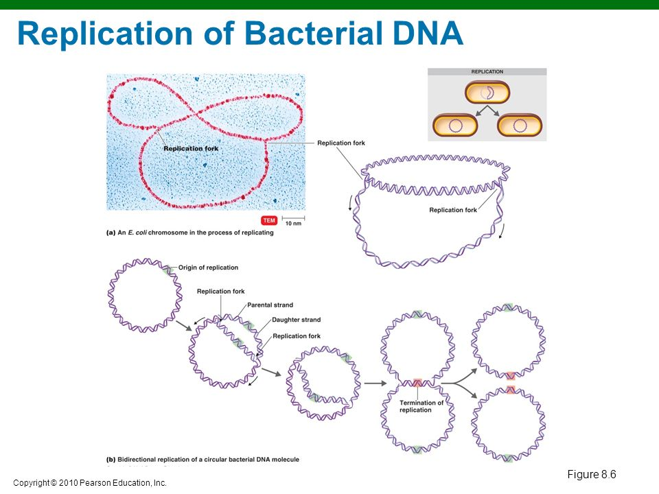 chapter 8 microbial genetics Microbial genetics and biotechnology dr weis definitions: genetics: the study of the science of heredity genome: all the genetic information in a cell (or virus) genomics: sequencing and  or 8 base pairs long with staggered sticky ends.