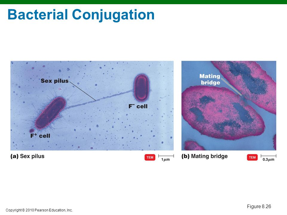 the process of bacterial conjugation in transmitting genetic material This process of bacterial cell 2 the other two being conjugation (transfer of genetic material between in transformation, the genetic material passes.