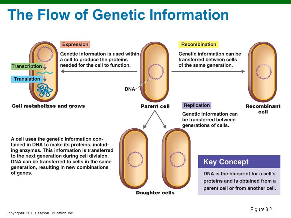 the flow of genetic information How can i simply define the flow of genetic information from dna to rna to protein in as few words as possible.