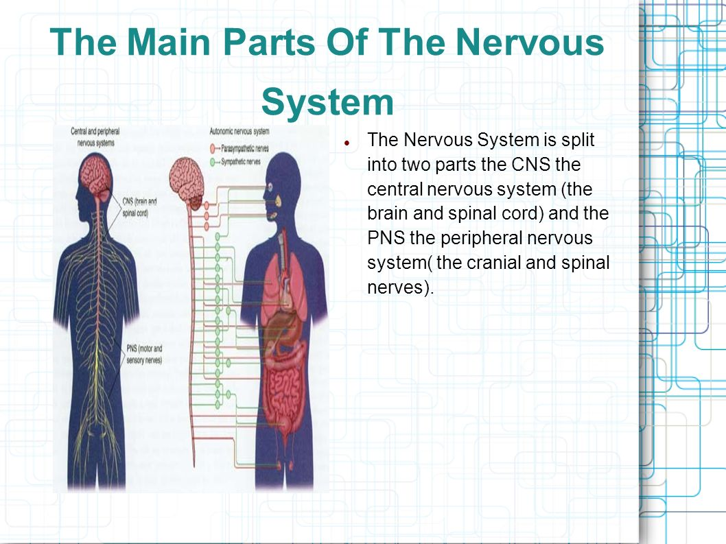 the main features of the nervous system In fact, this invertebrate nervous system is so specialized, it closely resembles some vertebrate nervous systems vertebrate nervous systems many of the features observed in more complex.