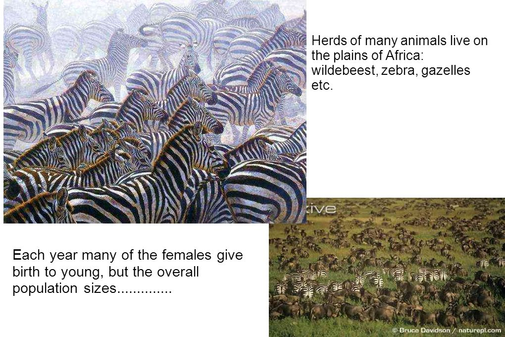 Saving Africa's Grevy's zebra from extinction