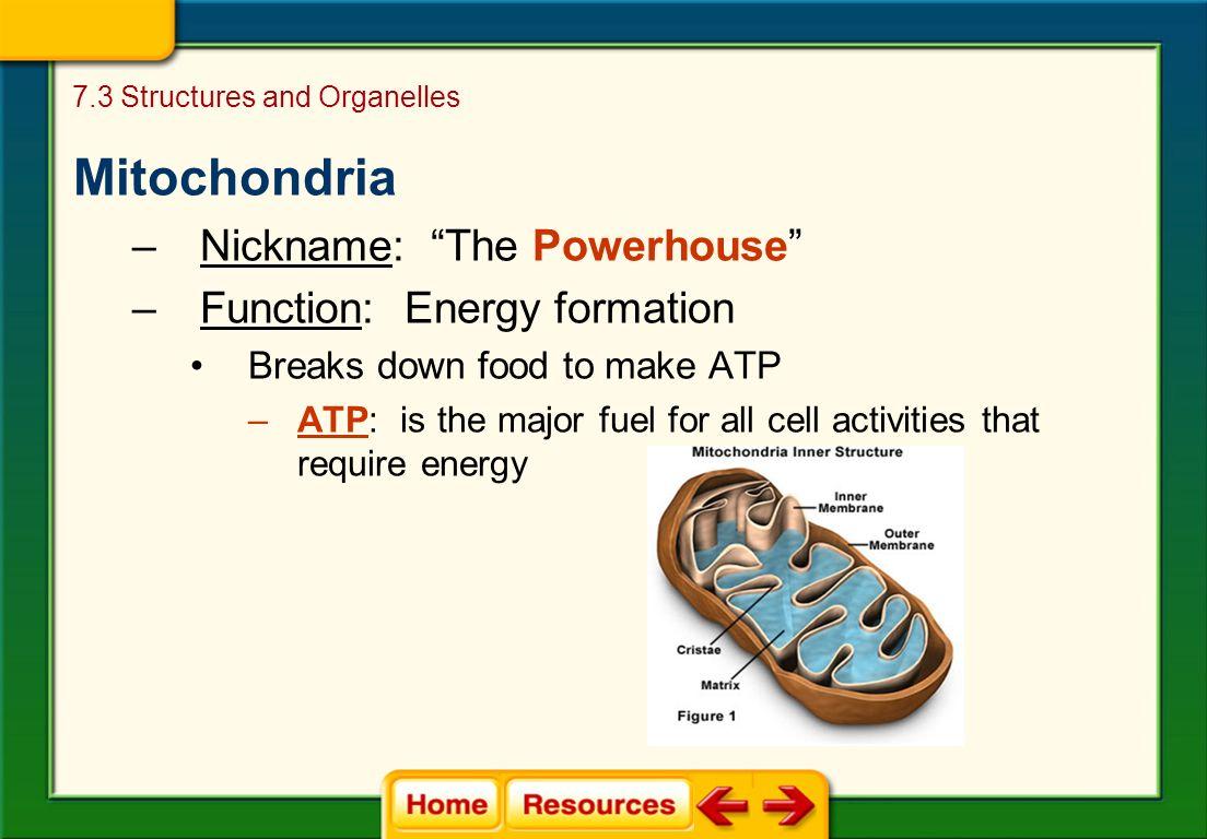mitochondria the powerhouse of energy Mitochondria: the powerhouse of your cells that fuels your body's energy.