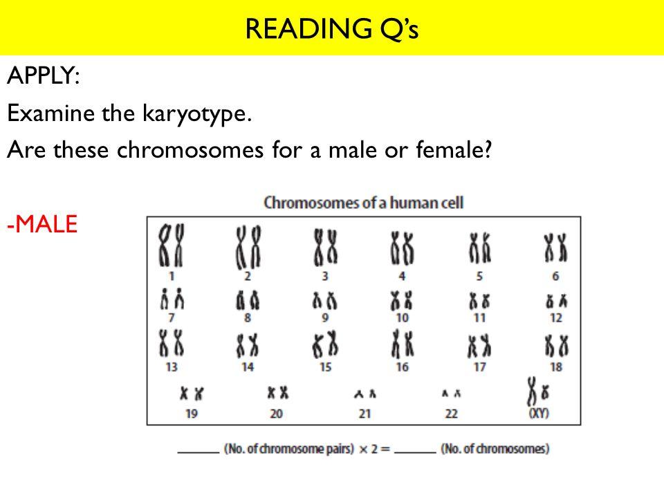 READING Q's APPLY: Examine the karyotype.