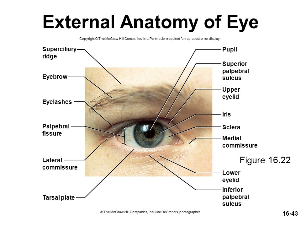 Eyelid Anatomy Tarsal Plate. Sensation Properties and Types of ...