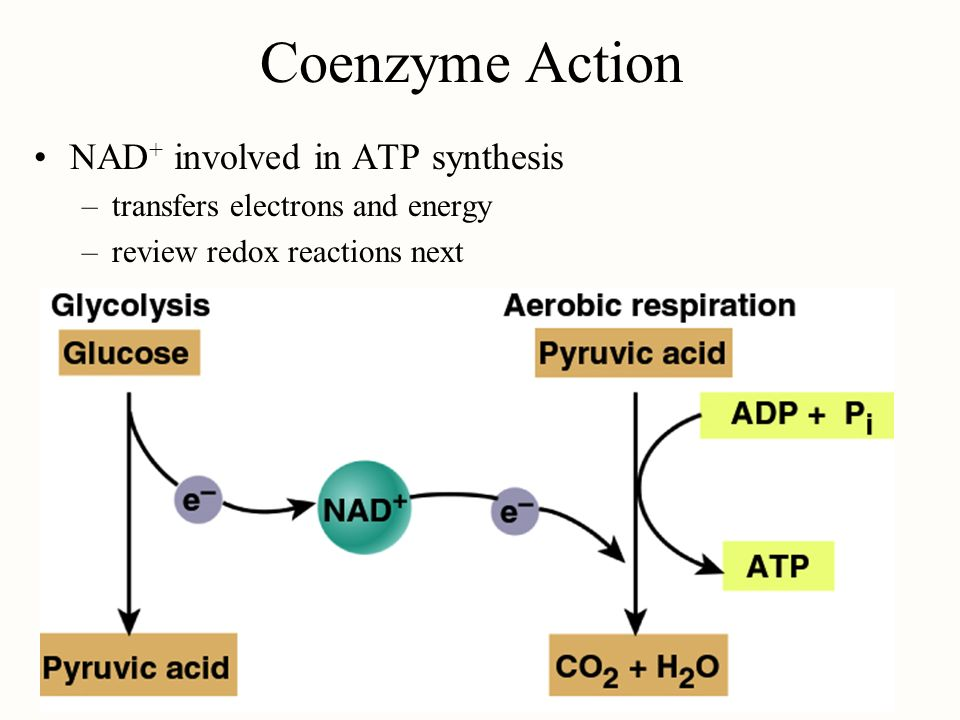 Coenzyme Action NAD+ involved in ATP synthesis