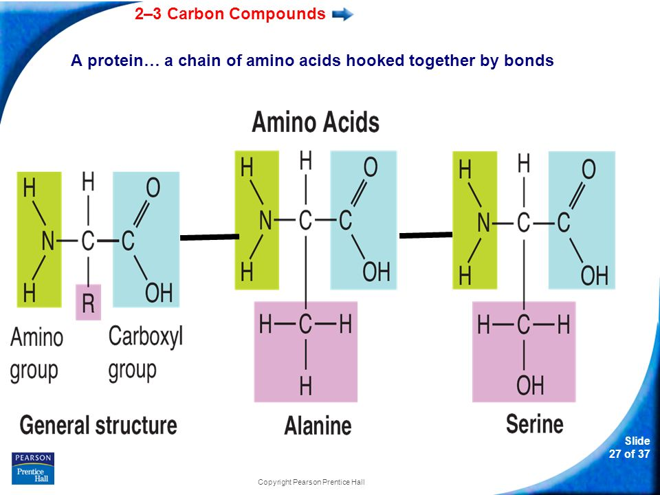 A protein… a chain of amino acids hooked together by bonds