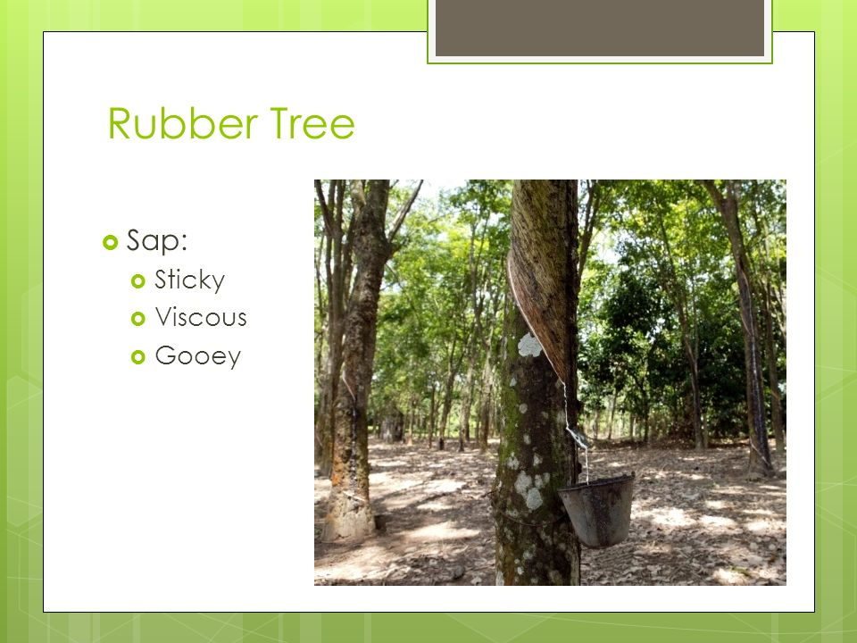 Rubber Tree Sap: Sticky Viscous Gooey