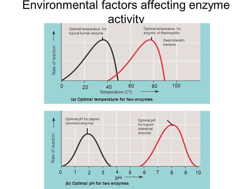 factors affecting the activity of enzymes essay Important to determine the factors affecting the activity and stability of the enzyme  from the marine pseudomonad the present paper is concerned with these.