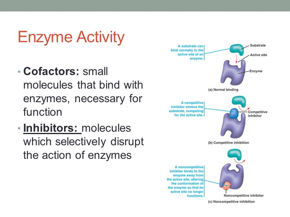 4 enzyme activity 1 objectives • define enzyme and describe the activity of enzymes in cells • discuss the effects of varying enzyme concentrations on the rate of enzyme.