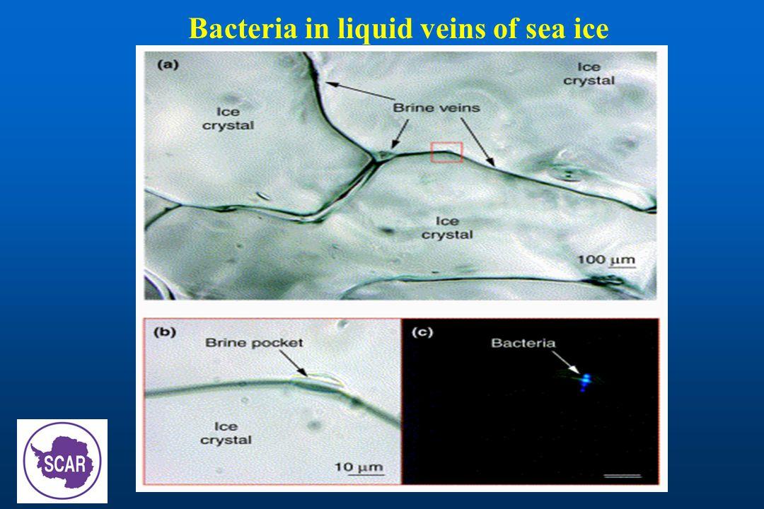 Bacteria in liquid veins of sea ice