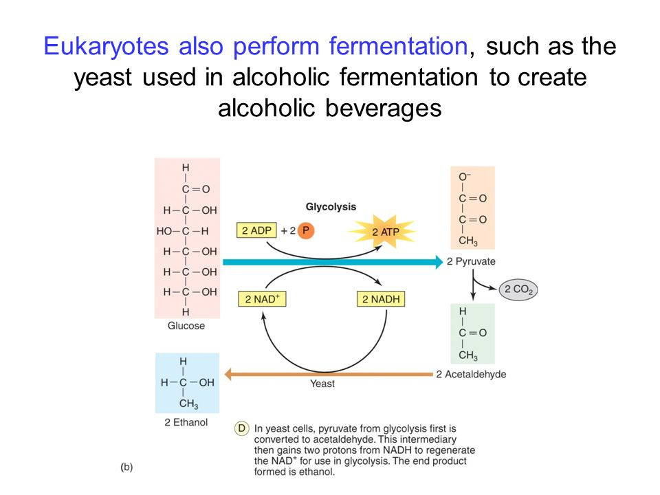 Eukaryotes also perform fermentation, such as the yeast used in alcoholic fermentation to create alcoholic beverages