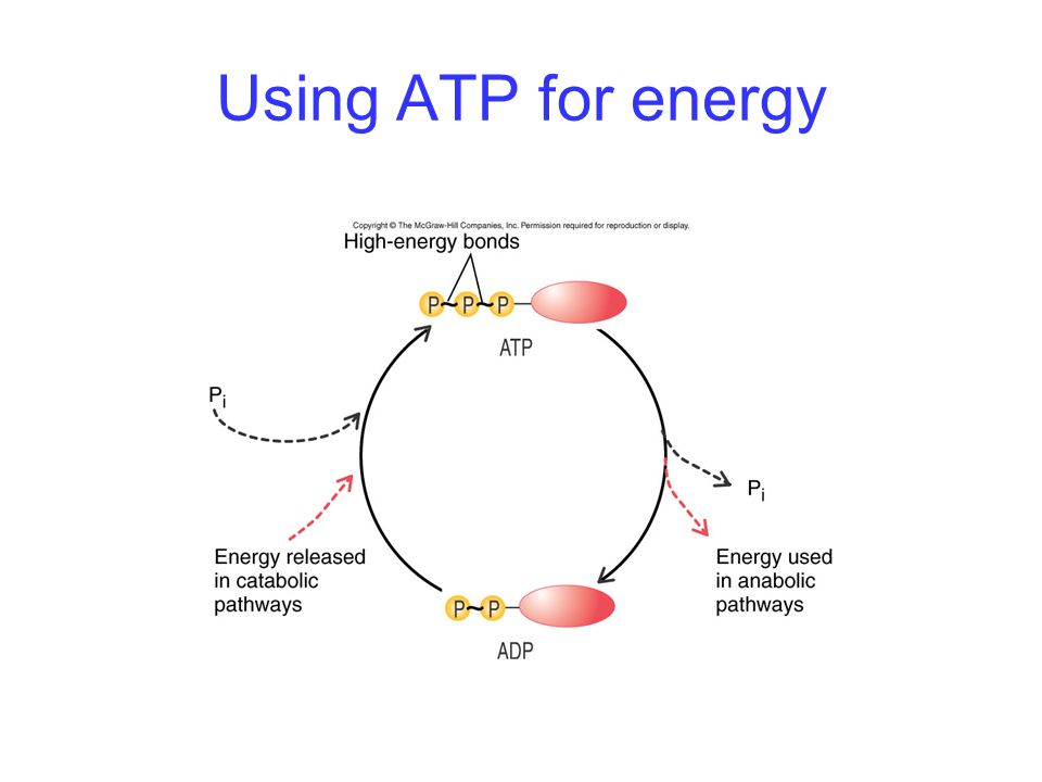 Using ATP for energy -