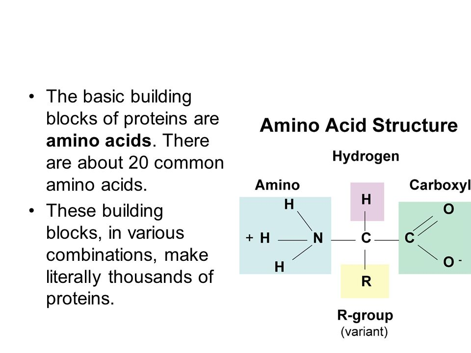Amino Acids Are Sometimes Called The Building Blocks Of Protein