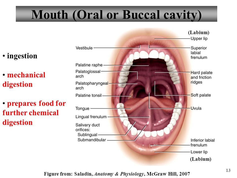 Buccal Anatomy Diagram - Basic Guide Wiring Diagram •