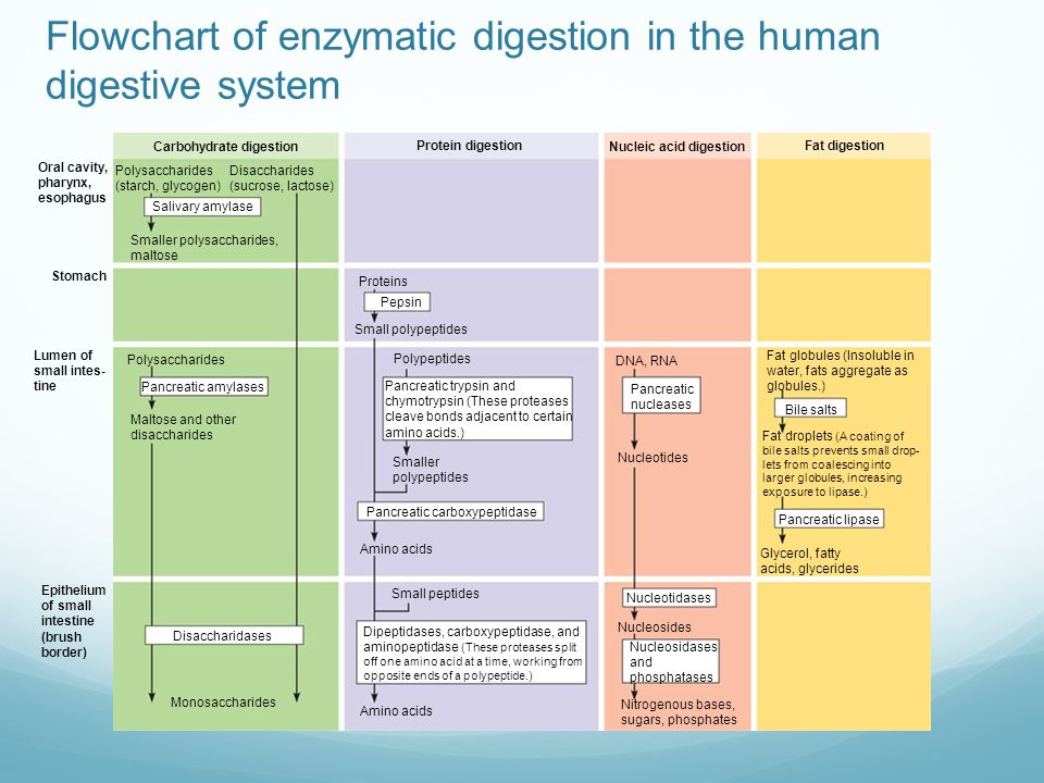 Animal nutrition chapter ppt download flowchart of enzymatic digestion in the human digestive system ccuart Gallery
