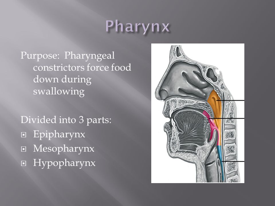 Pharynx Purpose: Pharyngeal constrictors force food down during swallowing. Divided into 3 parts: