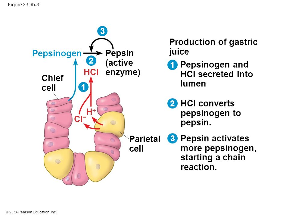 phospholipid bilayer cytosol cell diagram pepsin duct cell diagram