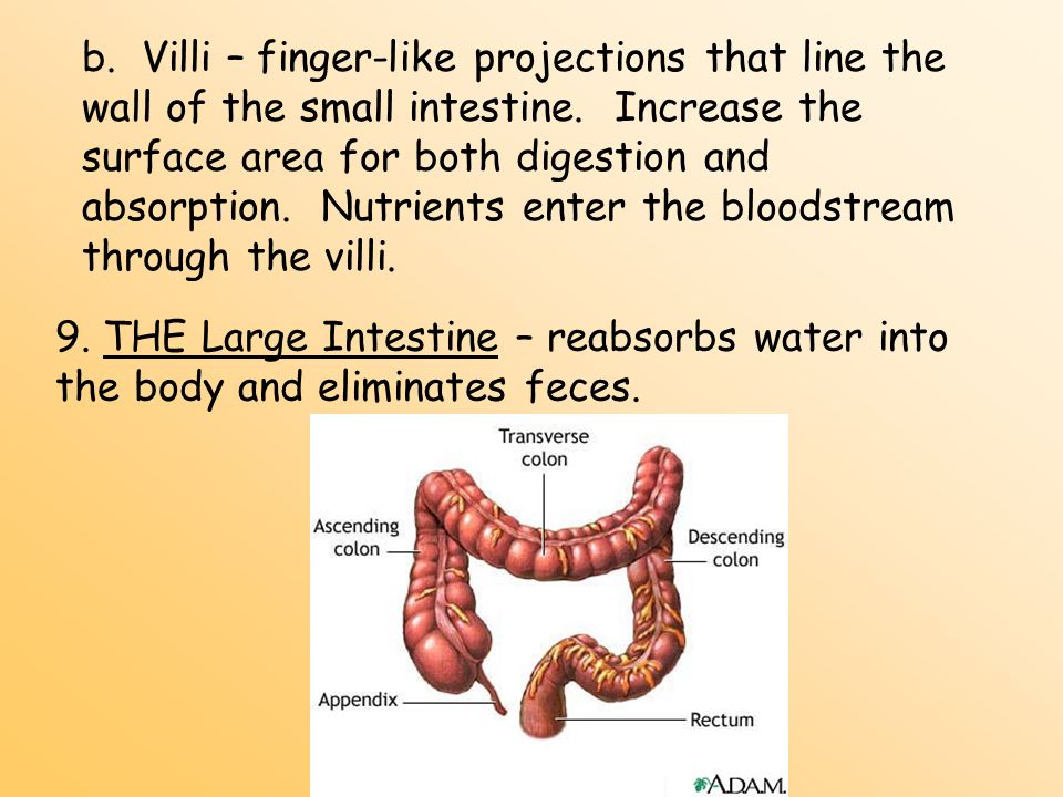 b. Villi – finger-like projections that line the wall of the small intestine. Increase the surface area for both digestion and absorption. Nutrients enter the bloodstream through the villi.
