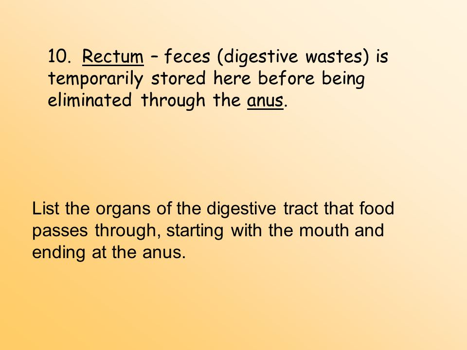 10. Rectum – feces (digestive wastes) is temporarily stored here before being eliminated through the anus.