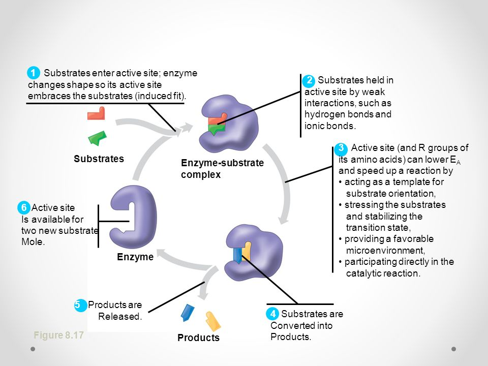 Substrates Products. Enzyme. Enzyme-substrate. complex. 1 Substrates enter active site; enzyme.