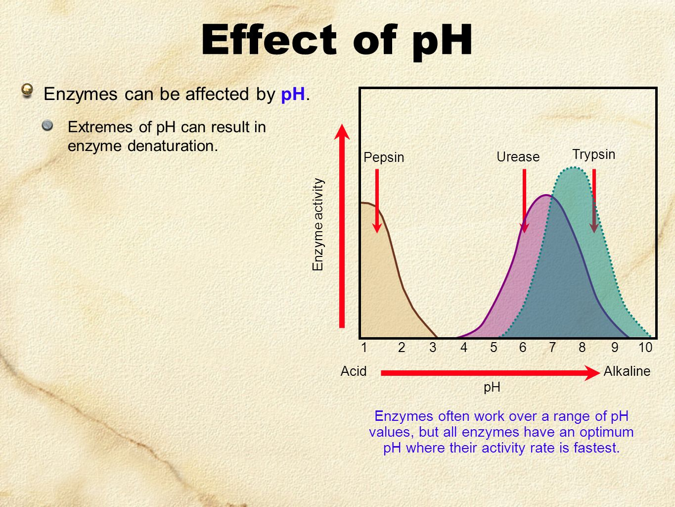 the effects of pepsin vs trypsin There are three main differencesph:pepsin is active or shows maximum activity at acidic ph of 15 while trypsin is active at an basic ph of 78source:pepsin is secreted by the mucous lining of the stomuch region while trypsin is secreted by the pancreas and helps in digestion of food in small intestinemode of action:pepsin mainly helps in.