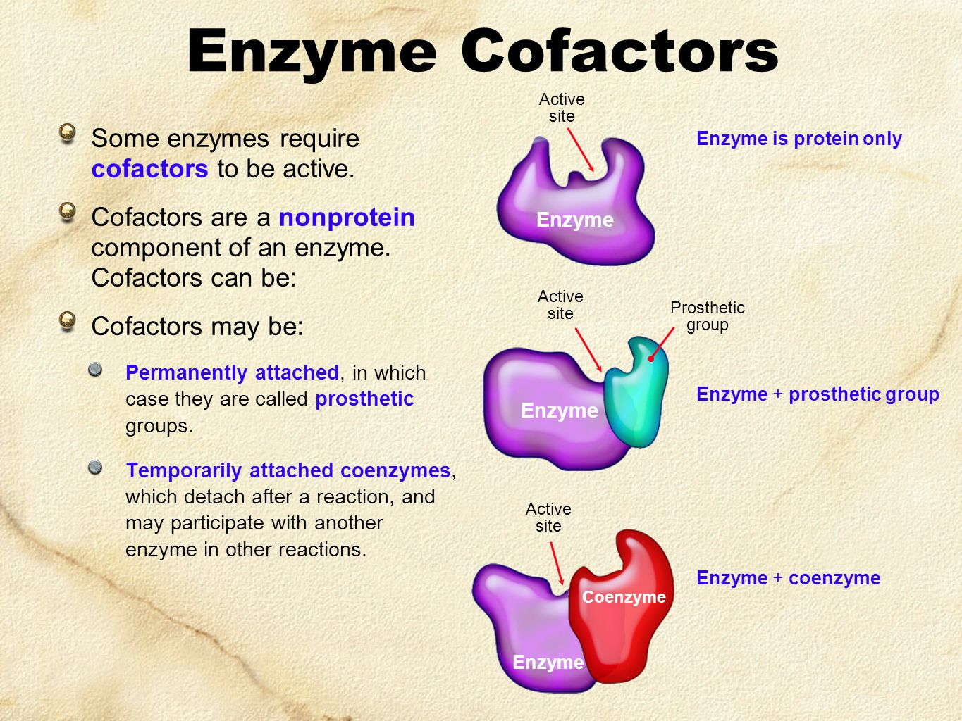 Enzyme Cofactors Some enzymes require cofactors to be active.