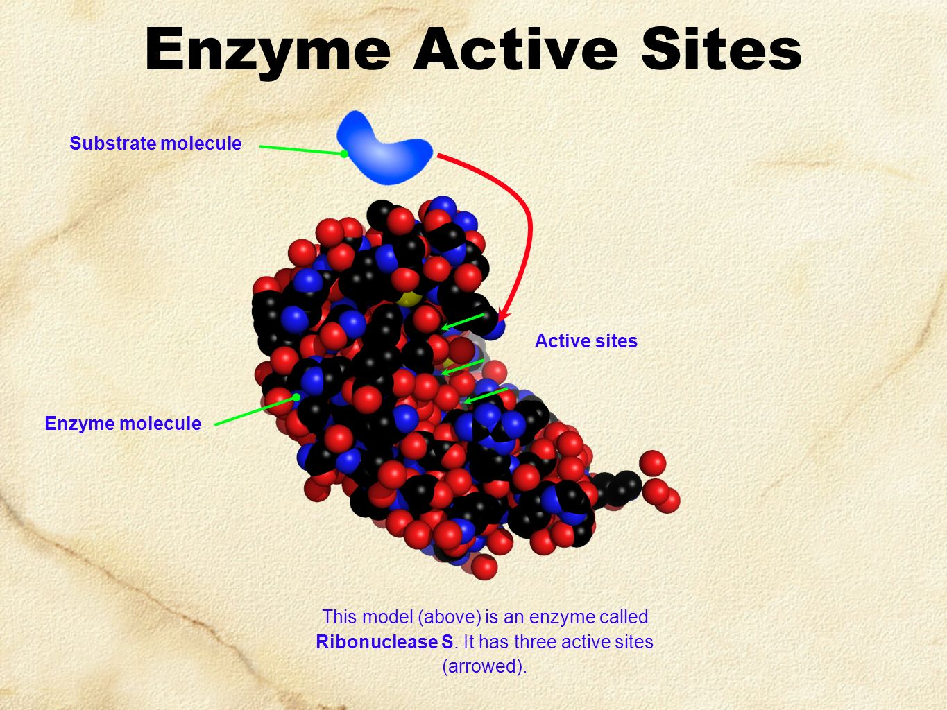 Enzyme Active Sites Substrate molecule Active sites Enzyme molecule