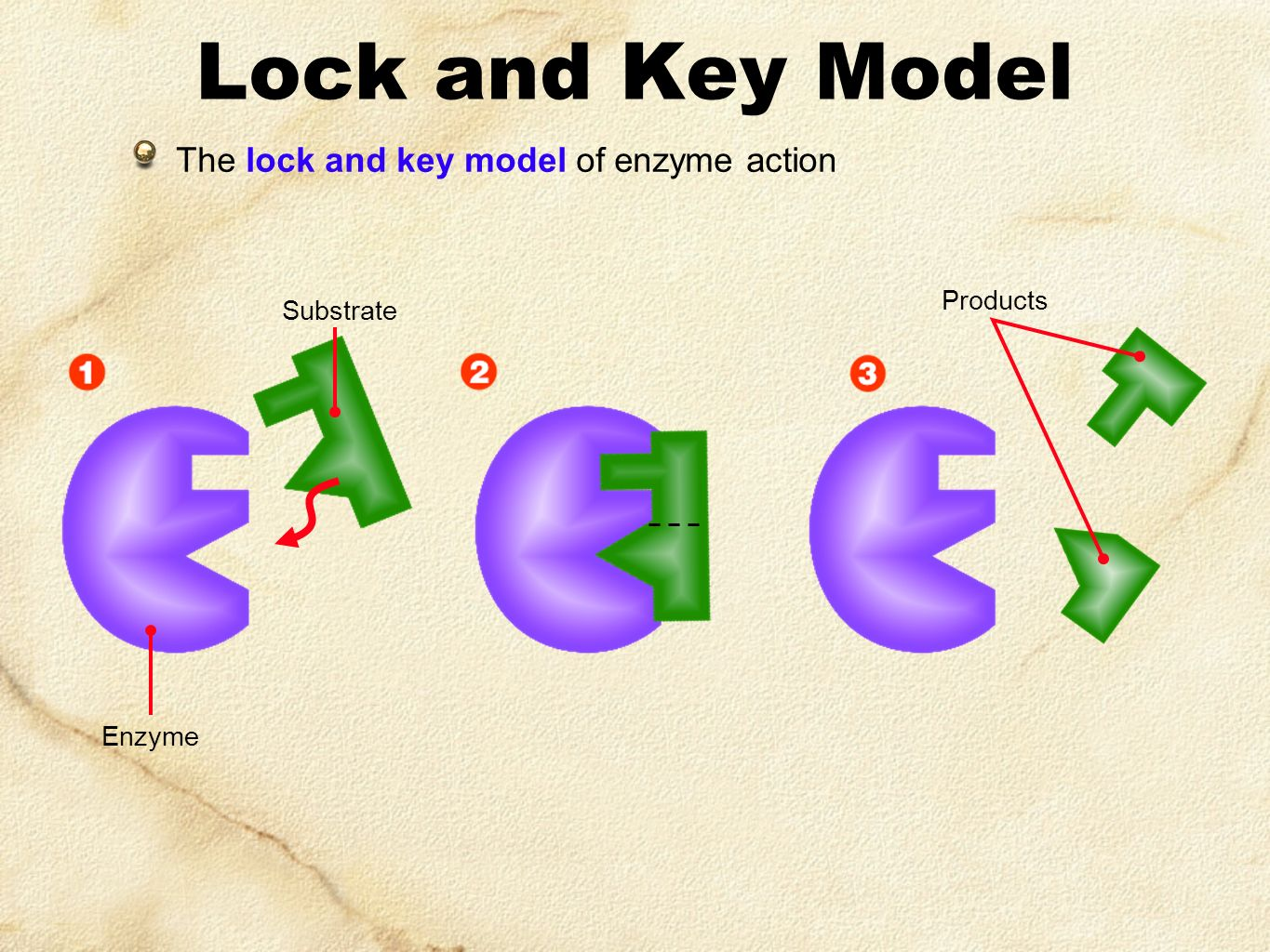 Lock and Key Model The lock and key model of enzyme action Products