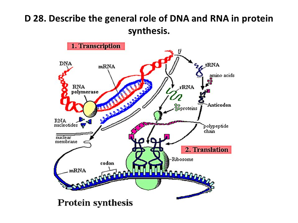 dna mrna and protein essay Protein production in the cell begins in the nucleus when the dna has been exposed and is ready for processing dna is used to store the genetic information for all the proteins in the cell it must first be transcribed by rna polymerases in a process called transcription.