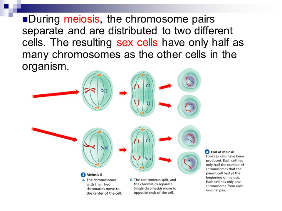 biology meiosis and mitosis Quiz over mitosis covering its phases, the number of chromosomes involved and structures within the cell related to mitosis.