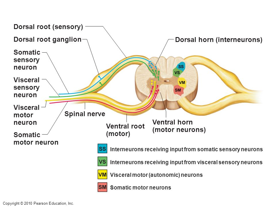 The Spinal Cord & Peripheral Nervous System - ppt download