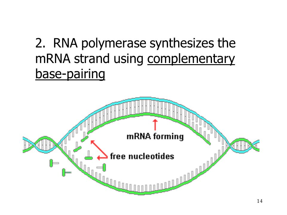 2. RNA polymerase synthesizes the mRNA strand using complementary base-pairing
